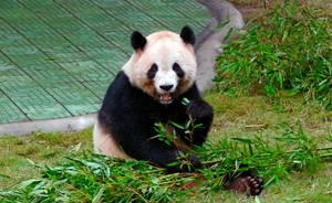 Panda 2 by Frostola