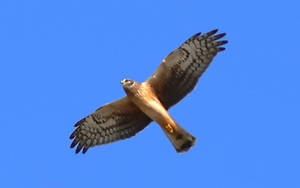 Northern Harrier by Frostola