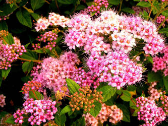 Pink bush of flowers by abbi34