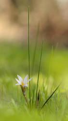 Romulea bulbocodium by IrenaDem