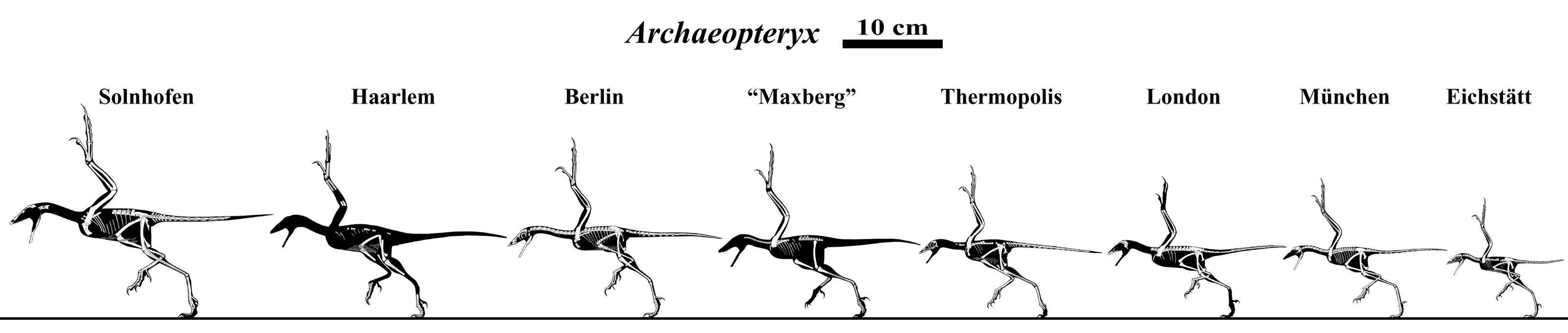 The Many Archaeopteryx by Qilong