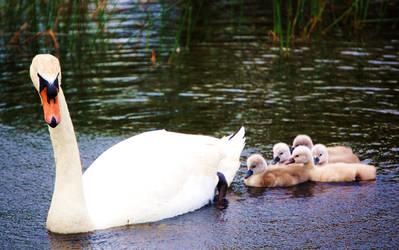 Swans by JessaMD