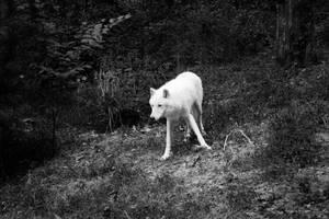 White Wolf by Cocytus-Crocus