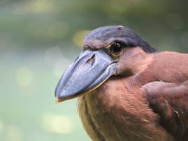 Boat-billed Heron by stevedaskam