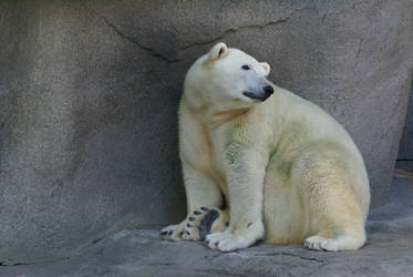 Polar Bear 008 by MonsterBrand-stock