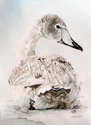 Young grey swan by Vincik