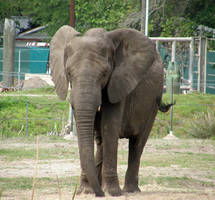 Elephant Stock by newgirl07