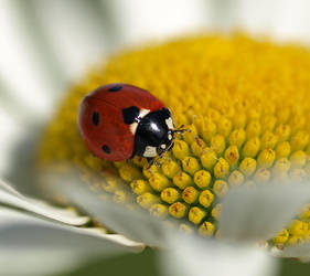 lady beetle Coccinellidae by sandor99