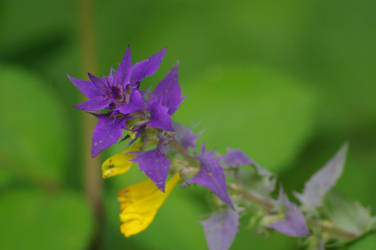 Violet by ziezula