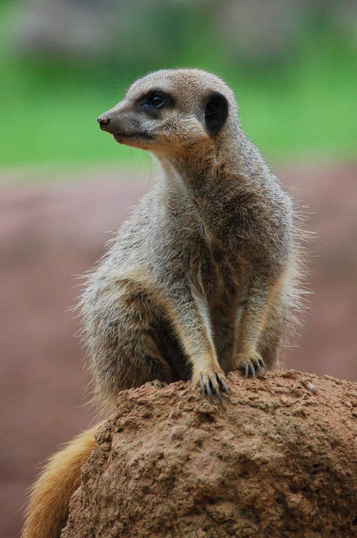 Meerkat by sicklittlemonkey