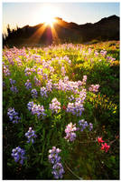 Lupine Sunset by Raymaker