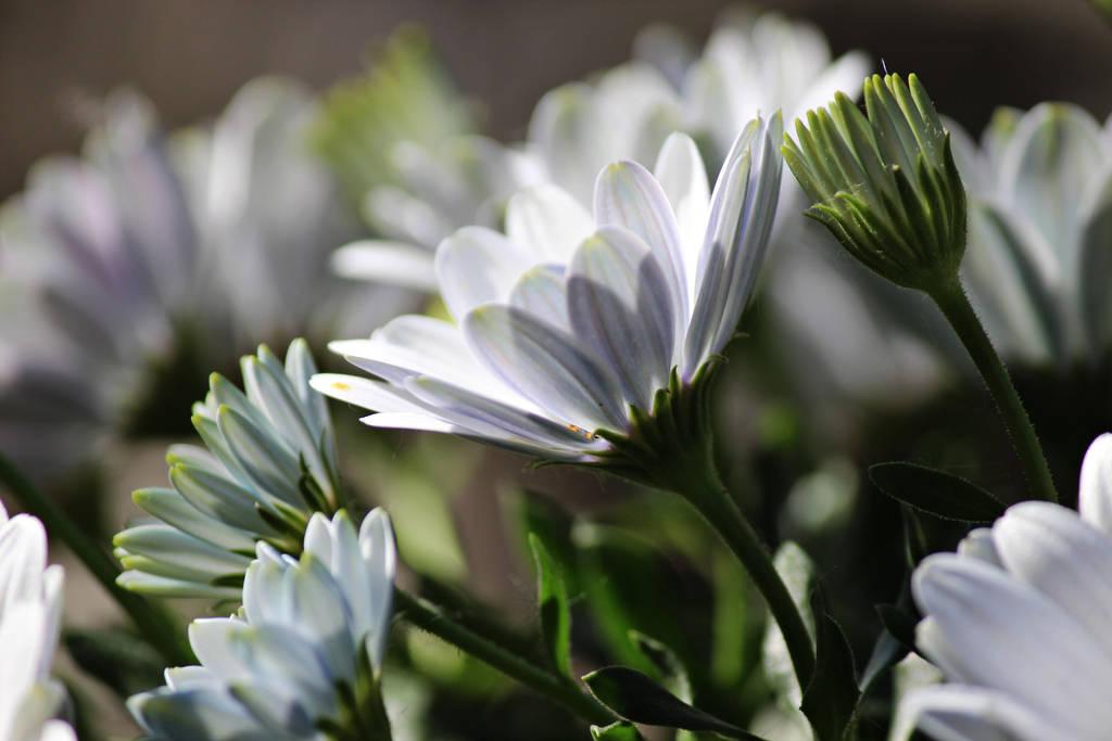 Osteospermum White Daisy by Mizunek