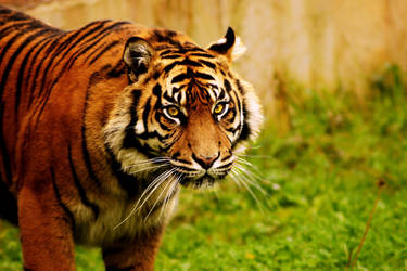 Bengal Tiger by Stolzer