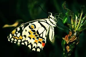 butterfly by kakutogi