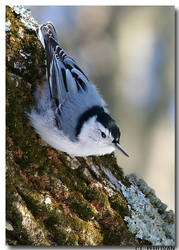 White-breasted Nuthatch by CTP