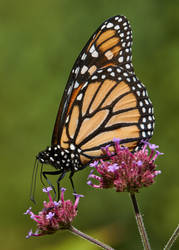 Monarch #59 by JED1948