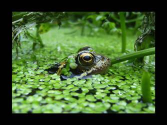 Frog by davetolomy