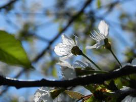 White Cherry Blossoms by PhantomPheonix7