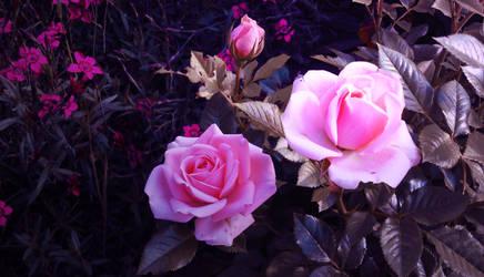 Voilet roses by Destinaetus