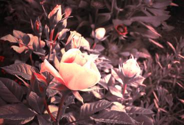 Dark roses by Destinaetus