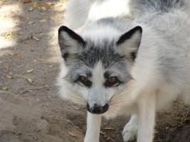 Nov1: Fox 1 by FamilyCanidae