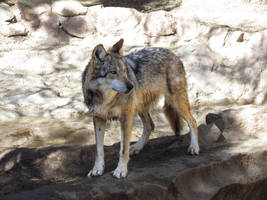 EPZ Mar23: Mexican wolf 27 by FamilyCanidae