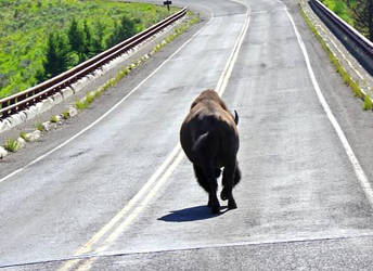 Bison. by 16stefamy
