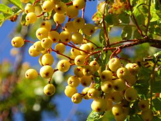 Yellow Rowan by Swiftsunset01
