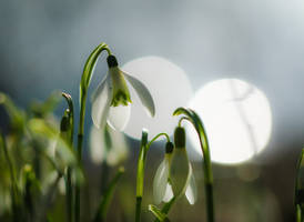 snowdrops in the sun... by clochartist-photo