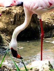 Flamingo by Tyziel