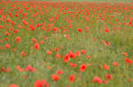 poppy field by 0Emptiness0