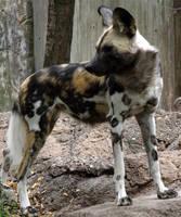 African Wild Dog 1 by FiatLupi