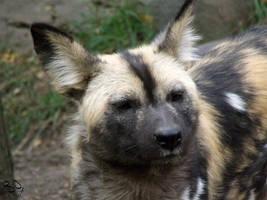 African Wild Dog 3 by FiatLupi