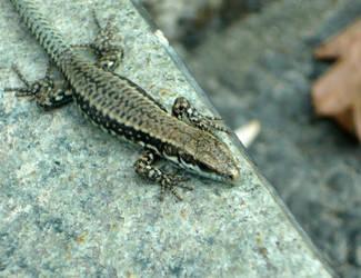 Little lizard 1 by cirelin