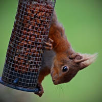 Red squirrel by BlonderMoment