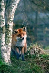 Mr. Fox by SlinkyJynx