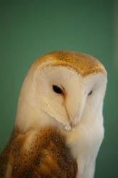 Barn Owl by SlinkyJynx