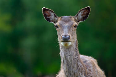 Deer headshot by SlinkyJynx