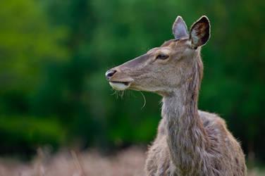 Deer profile by SlinkyJynx