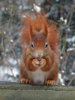 Squirrel 10 by Cundrie-la-Surziere