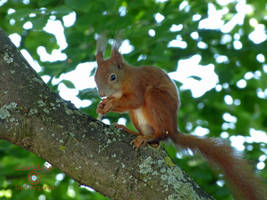 Squirrel 94 by Cundrie-la-Surziere
