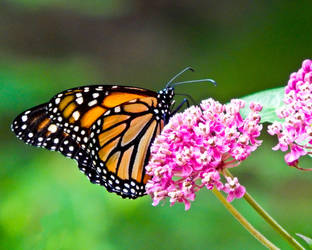 Monarch on Milkweed by CRG-Free
