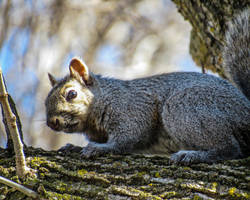 Tree Squirrel in a Tree by CRG-Free