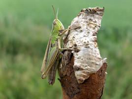 Grasshopper by bafel