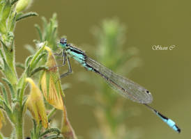 Blue Dragonfly by Shanyco2
