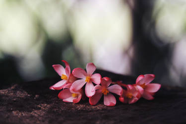 Begonia. by sayra