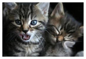 kitten 3 by sayra
