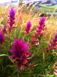 Melampyrum arvense on top of a old volcano by wolfilain