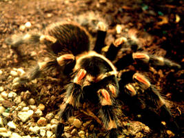 tarantula by limelightmedia