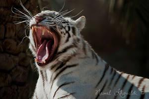White Tiger Yawning by NawalAckermann